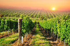 Vineyard sun sunset. Vineyard with sun on red sky, sunset landscape background Royalty Free Stock Images