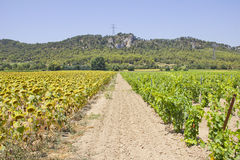 Vineyard and Sunflower fields. In Provence, south of France royalty free stock images
