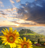 Vineyard with sunflowers in Chianti, Tuscany. Chianti vineyard landscape in Tuscany, Italy stock photo
