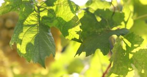Vineyard with sunlight in the leaves. Of the vine stock footage