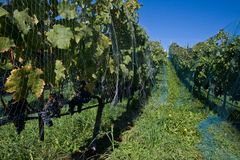 Vineyard on a sunny day Stock Photography