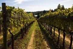 Vineyard on a sunny day Stock Photos