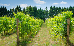 Vineyard of sunny day Stock Photo