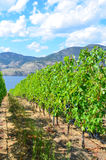 Vineyard on a sunny day. Vineyard on the shores of  Okanagan Leke in British Columbia on a sunny day before the grapes have been picked Stock Photo