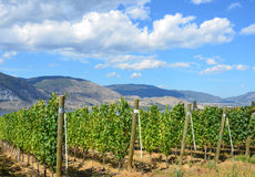 Vineyard on a sunny day. Just prior to harvesting in the Okanagan valley in British Columbia Stock Photo