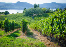 Vineyard on a sunny day. Vineyard in Okanagan Valley in British Columbia with grapes ready for harvesting Royalty Free Stock Photography