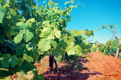 Vineyard in sunny day Stock Images