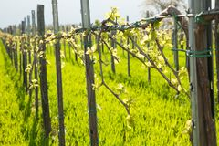 Vineyard on sunny day in early spring in western Slvenia euope.  Stock Image