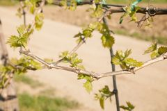 Vineyard on sunny day in early spring in western Slvenia euope.  stock images