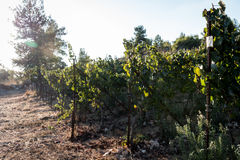 Vineyard on a sunny day Royalty Free Stock Photography
