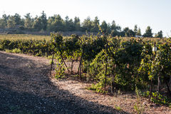 Vineyard on a sunny day Royalty Free Stock Images
