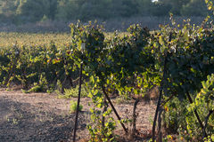 Vineyard on a sunny day Royalty Free Stock Photo