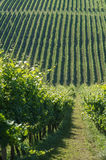 Vineyard on a sunny day Royalty Free Stock Photos