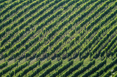 Vineyard on a sunny day Stock Image