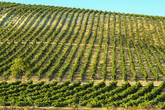 Vineyard in sunny day Royalty Free Stock Image