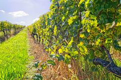 Vineyard at sunny day. View of the vineyards in Kutjevo Croatia royalty free stock photography