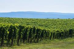 Vineyard on a sunny summer day Stock Photos