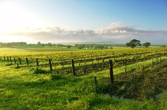 Vineyard Sunrise Royalty Free Stock Image