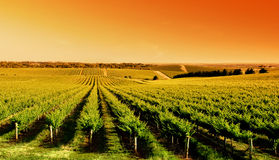 Vineyard Sunrise Royalty Free Stock Images