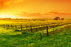 Vineyard Sunrise. Vineyard in the Barossa Valley royalty free stock photography