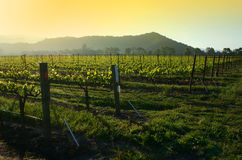 Vineyard sunrise. Orange sky over a vineyard Stock Photography