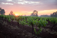 Vineyard sunrise. A sunrise across a vineyard Stock Photo