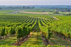 Vineyard Sunrise-Bordeaux Vineyard. Vineyard Sunrise - Bordeaux Vineyard-France, Aquitaine, Gironde, 33 stock photo
