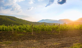 Vineyard at sunrise Royalty Free Stock Photo