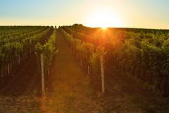 Vineyard at sunrise with lens flare Royalty Free Stock Photography