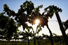 Vineyard at sunrise. Vineyard plantation at sunrise, sunlight through the trees royalty free stock images