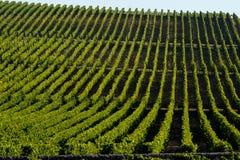 Vineyard Sunrise-Vineyards of Saint Emilion. Bordeaux Vineyards stock image