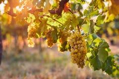 Vineyard at sunrise, yellow grapes on grapevine royalty free stock image