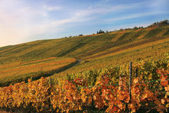 Vineyard at sunset. A vineyard in the light of the sunset Stock Image