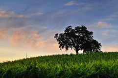 Vineyard at sunset Royalty Free Stock Image