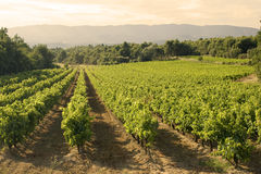 Vineyard in sunset Royalty Free Stock Images