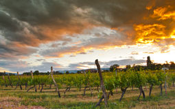 VIneyard at sunset Royalty Free Stock Photos