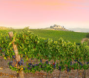 Vineyard sunset Royalty Free Stock Photography