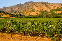 Vineyard at sunset. Vineyard in California at sunset Stock Photography
