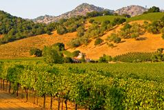 Vineyard at sunset. Vineyard in California at sunset Royalty Free Stock Image