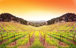 Vineyard at Sunset stock photography
