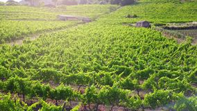 Vineyard at sunset - aerial view. Aerial shot by a drone over a vineyard stock video footage