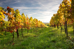 Vineyard sunset Royalty Free Stock Photos