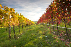 Vineyard sunset Royalty Free Stock Photo