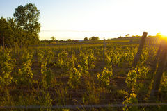 Vineyard sunset. Vineyard at sunset with growing vine trees Royalty Free Stock Photography