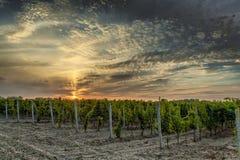 Vineyard at sunset stock image