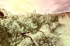 Vineyard at Sunset Stock Photos