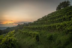 Vineyard at sunset in italy stock photos
