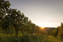Vineyard at sunset. Landscape with autumn vineyards and organic grape on vine branches. Stock Images