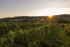 Vineyard at sunset. Landscape with autumn vineyards and organic grape on vine branches. Stock Photo
