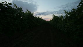 Vineyard. At sunset morning with blue sky stock video
